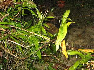 Arachnis (plant) - Arachnis breviscapa