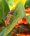 Aranha papa mosca 2.jpg