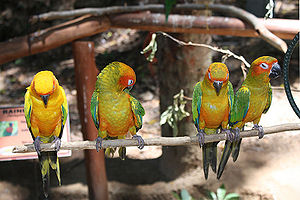 Sun parakeet - Adult conure to the left and three juveniles on the right