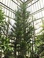 Araucaria scopulorum (Jardin des Plantes de Paris).jpg