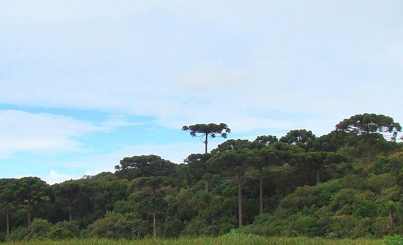 Ficheiro:AraucariasPiraquara.jpg