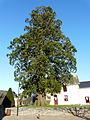 Arbre remarquable, le séquoia de Puceul.JPG