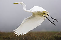 Ardea alba in flight - by Mike Baird.jpg