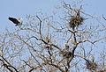 Ardea herodias -Illinois, USA -nests-8 (2).jpg