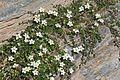 Arenaria biflora (Zweiblüten-Sandkraut) IMG 8998.jpg