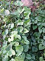 Aristolochia clematitis 20041007 2546.jpg