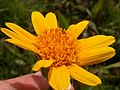 Arnica sororia (3625709138).jpg