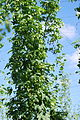 Aroma hop cultivar was created at UASVM Cluj-Napoca (Romania) through clonal selection from the Hüller Bitterer cultivar.jpg