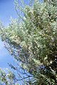 Artemisia arborescens parc-2116.jpg