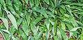 Arthropodium cirrhatum in Dunedin Botanic Garden 02.jpg