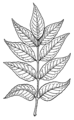 Ash leaves (PSF).png