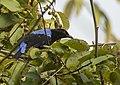Asian Fairy Bluebird. AMSM2316.jpg