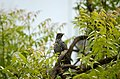 Asian koel (Eudynamys scolopaceus) Female from Tirupur JEG9590.jpg