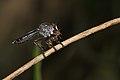 Asilidae-Kadavoor-2016-03-23-001.jpg