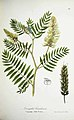 Astragalus canadensis L.jpg