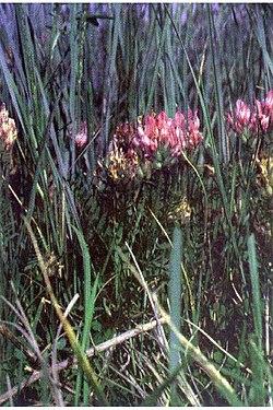Astragalusagrestis1.jpg