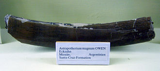 Astrapotherium - Canine tooth at the Museum für Naturkunde, Berlin