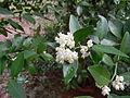 Atalantia monophylla-2.JPG