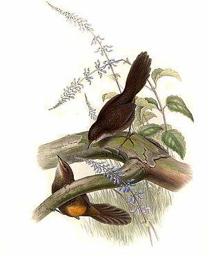 Rufous scrubbird - Image: Atrichorne.roux