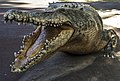 Australia Zoo Cameron the Crocodile-1 (18151867606).jpg