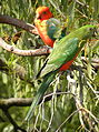 Australian King Parrot - Pair (Alisterus scapularis) 01.jpg