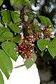 Averrhoa carambola (Oxalidaceae), flowers – Star fruit - Carambola (32440659442).jpg