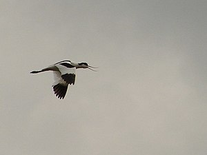 English: Avocet in flight at Frampton Marsh Th...