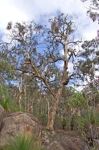 Eucalyptus accedens - Eucalyptus accedens in the Avon Valley National Park