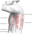 Axillary lines-ar.png