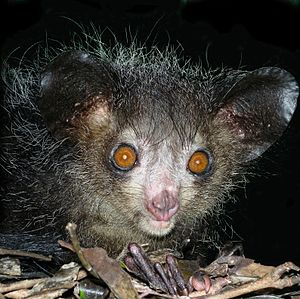 Aye-aye at night in the wild in Madagascar.jpg