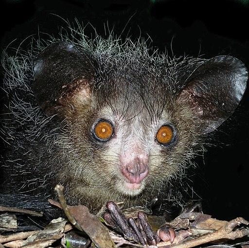 Aye-aye at night in the wild in Madagascar