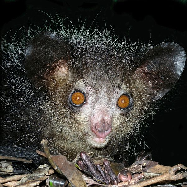 File:Aye-aye at night in the wild in Madagascar.jpg