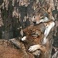 BIG WOLVE HUG!! (4276606933) (2).jpg