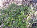 B telmatiaea 02 gnangarra.jpg