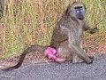 Baboon in estrus.jpg