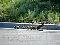 Baby Ducks - panoramio.jpg