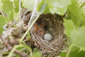 Baby Birds in nest.