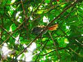 Bahia Spinetail (Synallaxis cinerea) in vegetation, from below.jpg