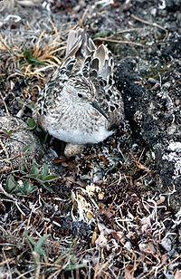 Baird's Sandpiper on Nest.jpg