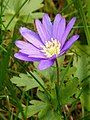 Balkan Anemone (Anemone blanda) (5567059301).jpg