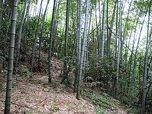 Bambus Wikipedia