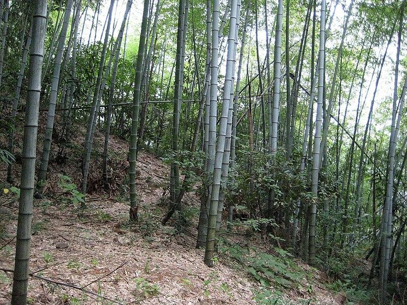 File:Bamboo at Huang Shan IMG 2820b.jpg