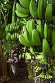 Banana Tree (3982475556).jpg