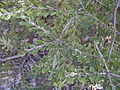 Banksia canei foliage.JPG