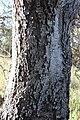 Banksia prionotes old bark.jpg