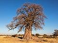 Baobab (Adansonia digitata), parque nacional Makgadikgadi Pans, Botsuana, 2018-07-30, DD 02.jpg