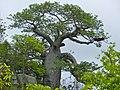 Baobab (Adansonia digitata) (11668685814).jpg