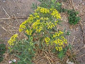Barkleyanthus - Image: Barkleyanthus salicifolius syn senecio salignus