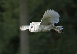 Barn Owl in Norfolk.jpg