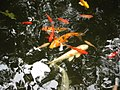 Barnes Foundation Koi - panoramio.jpg